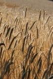Corn filed Royalty Free Stock Photos