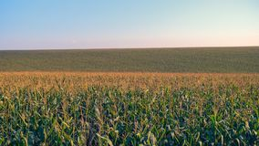 Corn filed with blue sky. Corn filed panorama with blue sky royalty free stock photography