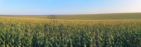 Corn filed with blue sky. Panoramic royalty free stock photos