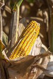 Corn Filed Royalty Free Stock Photos
