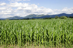 Corn filed with Velka Fatra mountains Stock Photo