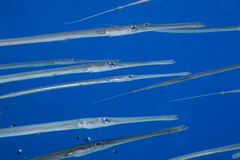 Corn fish in the blue. A group of corn fish in the blue on a close up on one of them royalty free stock photos