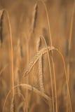 Corn fleld Stock Photo