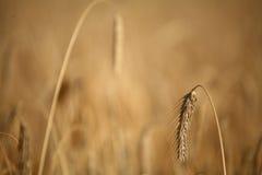 Corn fleld Stock Photos