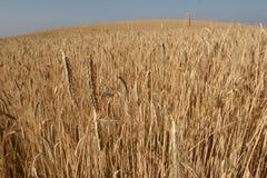 Corn fleld Royalty Free Stock Photo