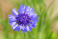corn flower Royalty Free Stock Images