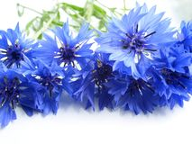 Corn-flower royalty free stock photo