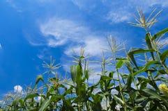 Corn flower Stock Photo