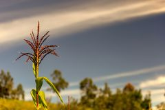 Corn flower against the early morning sky royalty free stock image