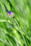 corn flower bud Royalty Free Stock Image