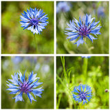 Corn-flower closeup collage Stock Photography