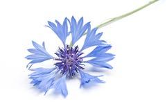 Corn-flower closeup Stock Images