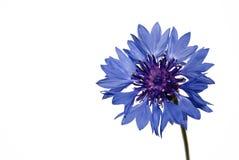 Corn-flower del fiore su una priorità bassa bianca Fotografie Stock Libere da Diritti