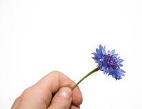 Corn-flower del fiore su una priorità bassa bianca Immagini Stock