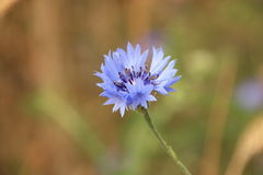 Corn flower Stock Photo
