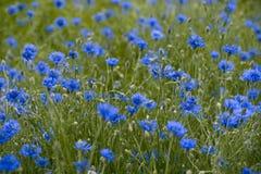Corn-flower field. The field of corm flowers royalty free stock image