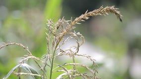 Corn Flower, stock video footage