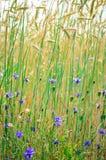 Corn-flower in wheat field Stock Photos