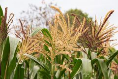 Corn that is flowering in the farm. Corn that is flowering in the farm on a natural background Stock Images