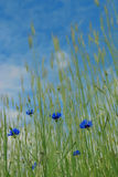 Corn-flowers. Few corn-flowers in the wheat. Upper part of the image is blurred Stock Photo