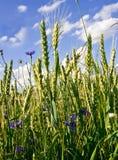 Corn-flowers Stock Photo