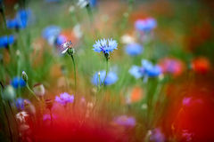 Corn Flowers in Summer Royalty Free Stock Image