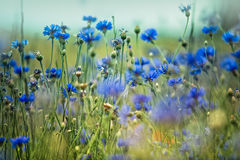Corn Flowers in Summer Stock Image