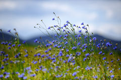 Corn Flowers in Summer Royalty Free Stock Photography