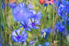 Corn Flowers in Summer Royalty Free Stock Photos