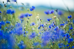 Corn Flowers in Summer Stock Images