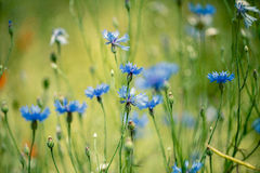 Corn Flowers in Summer Stock Photos