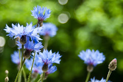 corn flowers Royalty Free Stock Photography