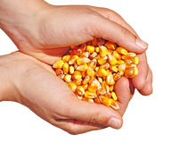 Corn food agriculture. Corn seeds in hand as food commodity, agriculture background Royalty Free Stock Image