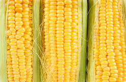 Corn, Fresh corn cobs Royalty Free Stock Image