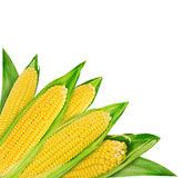 Corn. Fresh corn vegetable isolated on white background Royalty Free Stock Photo