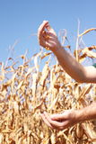 Corn in front of field. Autumn Stock Photography