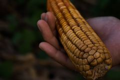 Corn is a fungal disease,Holding a corn fungus Royalty Free Stock Photography