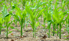 Corn the future fuel E85 Royalty Free Stock Photos