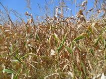 Corn in the garden Stock Photography