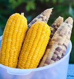 Corn on garden background Stock Images