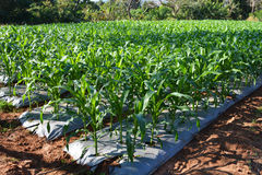 Corn Garden Royalty Free Stock Photo
