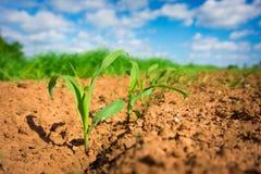Corn germ. In a field in a row Stock Photos