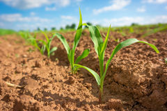 Corn germ. In a field in a row Royalty Free Stock Photo
