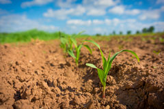 Corn germ. In a field in a row Stock Photo