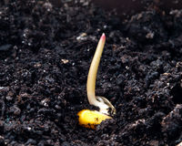 Corn germination Royalty Free Stock Image