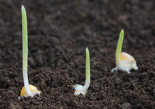 Corn germination on fertile soil Royalty Free Stock Images