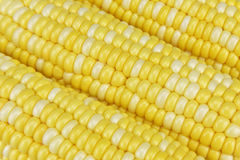 Corn. The golden and white corn Stock Image