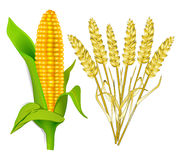 Corn and grain. Farm, agricultural Stock Photo