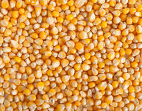 Corn grain Stock Photography