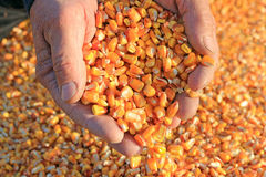 Corn grain in a hand royalty free stock images